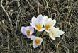 İlkbahar Çiğdemleri